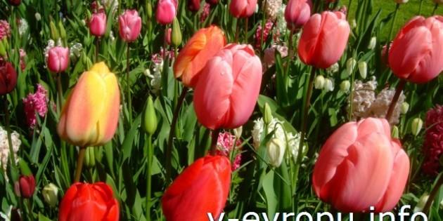К тюльпанам Кейкенхофа в Амстердам через Вену и Цюрих