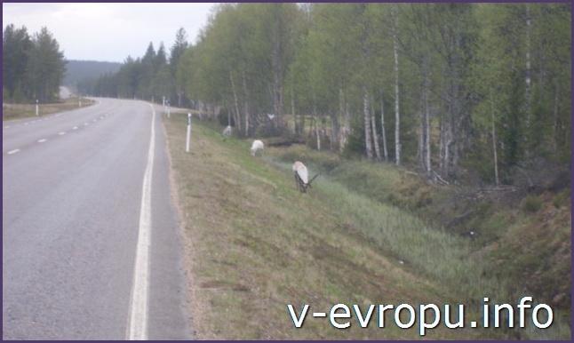 Дикие олени на дорогах Скандинавии