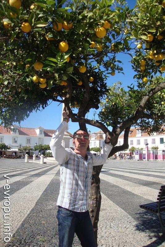 Апельсины можно есть с ветки