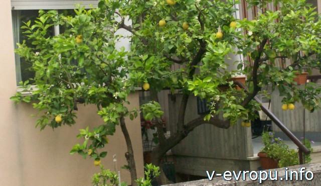 Пескара. Италия. Май. Лимонное дерево