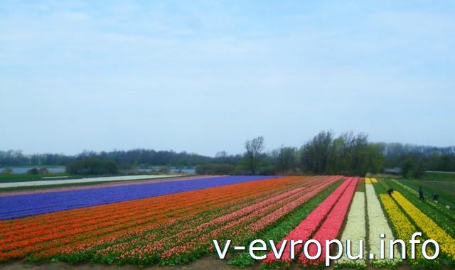 Тюльпановые поля Кейкенхофа