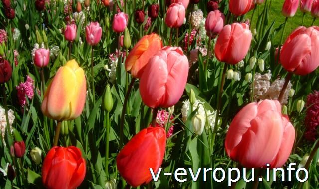 К тюльпанам Кейкенхофа через Вену и Цюрих