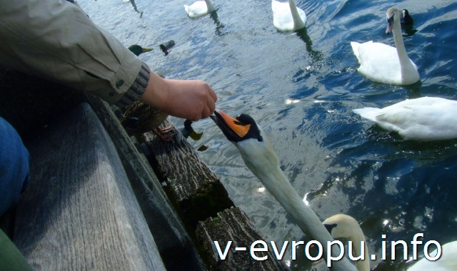 Лебеди на Цюрихском озере
