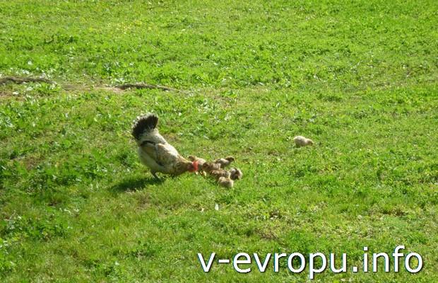 Торревьеха. Курица с птенцами в зоопарке