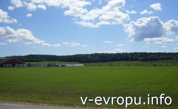 На Кустваген также есть окультуренные поля с пасущимися коровами